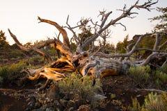 Nieżywy drzewo przy kraterami księżyc Obraz Royalty Free