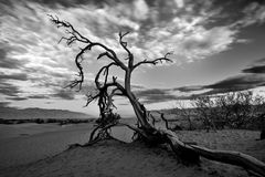 Nieżywy drzewo przy Mesquite diunami w Śmiertelnym Dolinnym parku narodowym Fotografia Stock