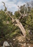 Nieżywy drzewo wśród jałowcowych krzaków w Chorwacja Obraz Stock