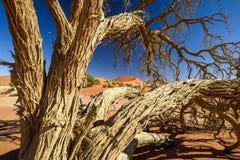 Nieżywy drzewo w Sossusvlei blisko Sesriem w sławnej Namib pustyni w Namibia, Afryka Obraz Stock
