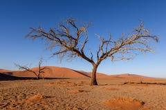 Nieżywy drzewo w Sossusvlei blisko Sesriem w sławnej Namib pustyni w Namibia, Afryka Zdjęcia Royalty Free