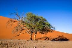 Nieżywy drzewo w Sossusvlei blisko Sesriem w sławnej Namib pustyni w Namibia, Afryka Fotografia Royalty Free