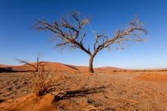 Nieżywy drzewo w Sossusvlei blisko Sesriem w sławnej Namib pustyni w Namibia, Afryka Zdjęcie Royalty Free