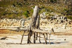 Nieżywy drzewo z odsłoniętymi korzeniami Fotografia Royalty Free