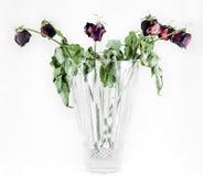 nieżywy folował róże Fotografia Royalty Free
