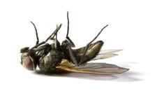 nieżywy housefly Fotografia Royalty Free