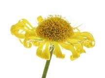nieżywy kwiat Fotografia Royalty Free