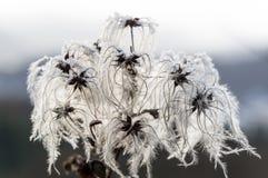 Nieżywy kwiat nieznacznie zakrywający pod lodem graybeard obraz royalty free