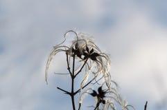 Nieżywy kwiat nieznacznie zakrywający pod lodem graybeard obrazy stock