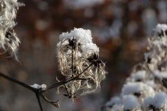 Nieżywy kwiat nieznacznie zakrywający pod lodem graybeard zdjęcie stock