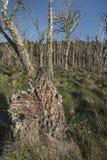 Nieżywy las przy Buckie Loch Culbin plażą w Szkocja zdjęcia royalty free