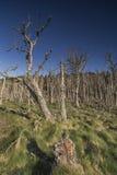 Nieżywy las przy Buckie Loch Culbin plażą w Szkocja zdjęcie royalty free