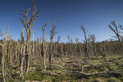Nieżywy las przy Buckie Loch Culbin plażą w Szkocja fotografia royalty free