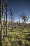 Nieżywy las przy Buckie Loch Culbin plażą w Szkocja obrazy stock