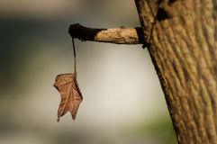 Nieżywy liść na gałąź Zdjęcia Stock