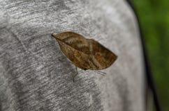 Nieżywy liścia motyl, Kallima inachus 16 2017 Sierpień 16:25 Fotografia Royalty Free
