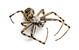 Nieżywy osa pająk, Argiope bruennichi, Fotografia Royalty Free