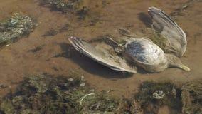 Nieżywy ptak kłama w zanieczyszczającym stawie zbiory
