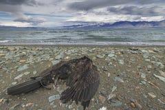 Nieżywy ptak na jeziorze, ciska na ląd Fotografia Stock