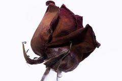 Nieżywy róża kwiat Zdjęcia Stock