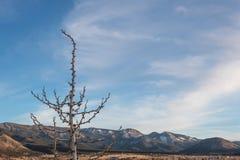 Nieżywy rośliny przedpole przed śnieżnym pasmem górskim dezerterują zimę, Amerykańscy południowi zachody zdjęcia stock