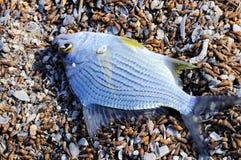 nieżywy rybi tilapia obraz royalty free