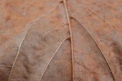 nieżywy suchy liść Zdjęcie Stock