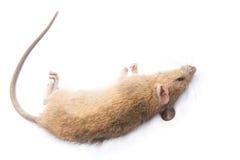 Nieżywy szczur Odizolowywający na Białym tle Obrazy Royalty Free