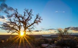 Nieżywy Utah jałowiec Obraz Stock