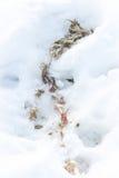 Nieżywy zwierzę w śniegu Zdjęcie Stock