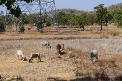 Nie byk & krowa pasają na wioska irlandczyka gospodarstwie rolnym po zbierać irlandczyk na słonecznym dniu Zdjęcie Royalty Free