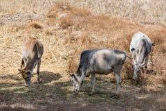 Nie byk & krowa pasają na wioska irlandczyka gospodarstwie rolnym po zbierać irlandczyk na słonecznym dniu Zdjęcie Stock