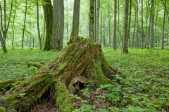 nie fiszorka drzewo Obrazy Stock