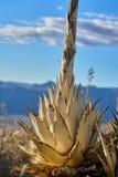 Nieżywa agawa Fotografia Royalty Free