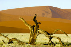 Nieżywa Akacja w Vlei Namibia - Sossusvlei - Fotografia Royalty Free