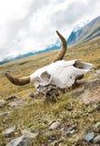 nieżywa byk czaszka Zdjęcia Royalty Free