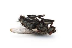 nieżywa komarnica Zdjęcie Stock