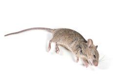 nieżywa mysz Obraz Stock