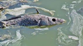 Nieżywa ryba Zdjęcie Royalty Free