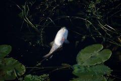 Nieżywa ryba Zdjęcia Royalty Free
