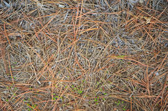 Nieżywa Sosnowa Igielna tekstura Zdjęcie Stock