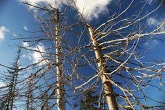 Nieżywi drzewa Zdjęcie Royalty Free