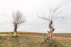 Nieżywi drzewa w polu na chmurnym dniu przy spadkiem Obraz Royalty Free