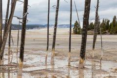 Nieżywi drzewa w Yellowstone Obraz Stock