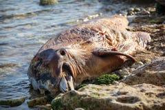 nieżywy bottlenose delfin Zdjęcia Stock