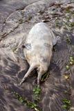Nieżywy delfin Obrazy Stock