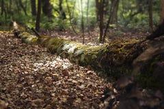 Nieżywy drzewny lying on the beach w drewnach zdjęcie royalty free