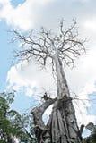 Nieżywy drzewo Obraz Stock