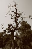 Nieżywy drzewo Obrazy Stock
