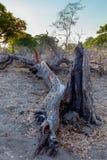Nieżywy drzewo w afrykanina krajobrazie Zdjęcia Stock